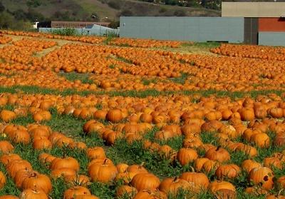 Cal Poly Pom Pomona Pumpkin Festival Corn Maze Pumpkins