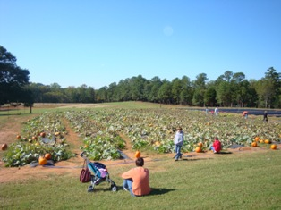 pumpkin patch in the field
